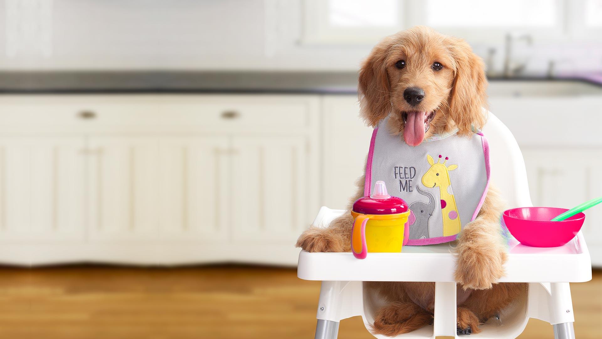 gold-dog-dry-puppy-alt